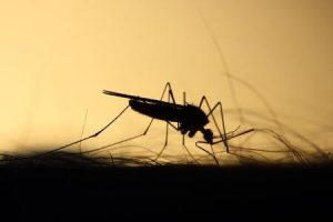 role of mosquitoes in heartworm disease