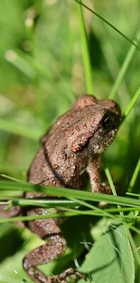 Baby cane toad