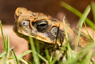 Cane toad poisoning